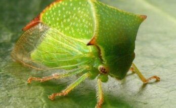 Буйволовидная цикадка