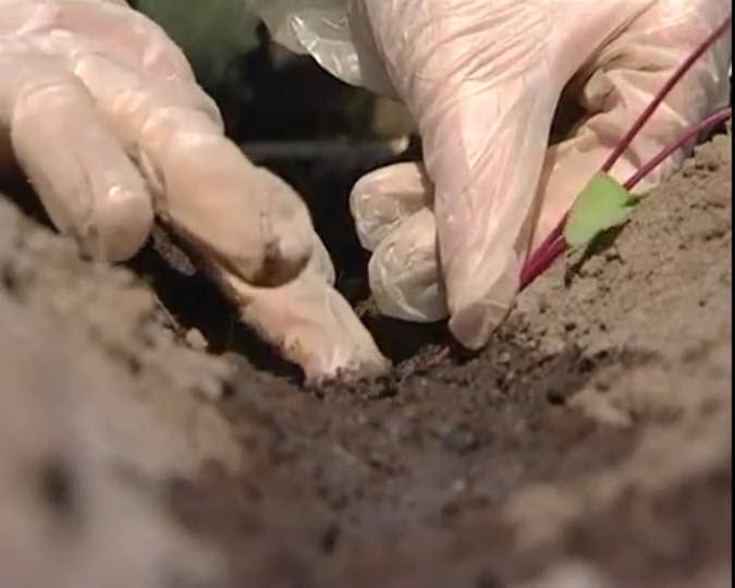 Огород: пересадка свеклы