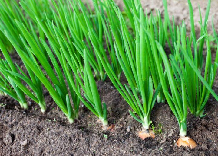zelenii lyk