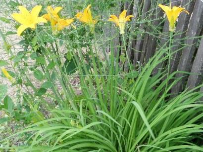 цветы саранки, растущие в тени забора