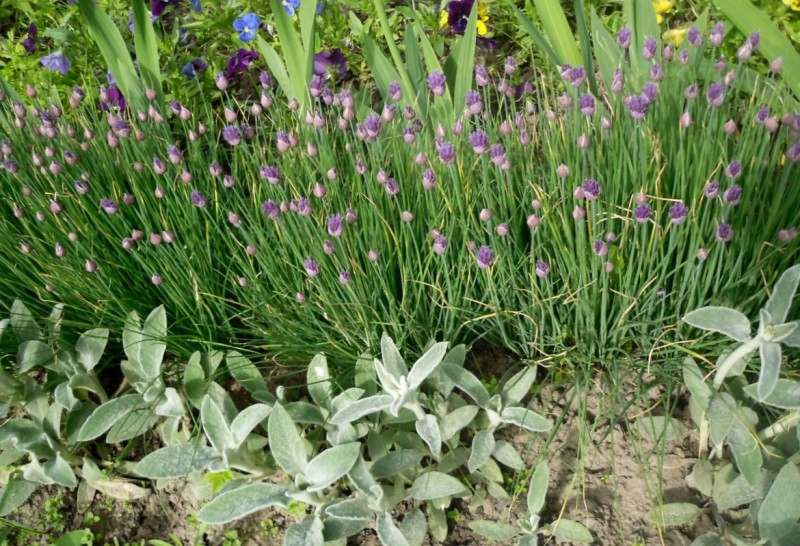 Шнитт-лук в цветнике