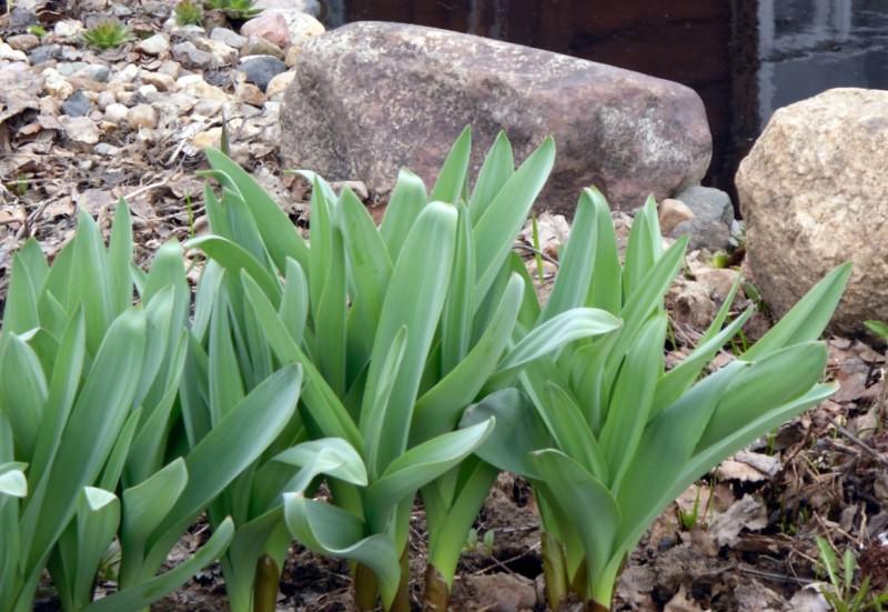 Лук афлатунский ранней весной