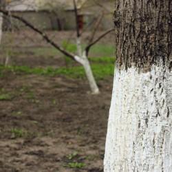 Побеленный ствол дерева