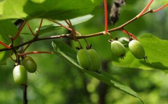 актинидия сбор ягод