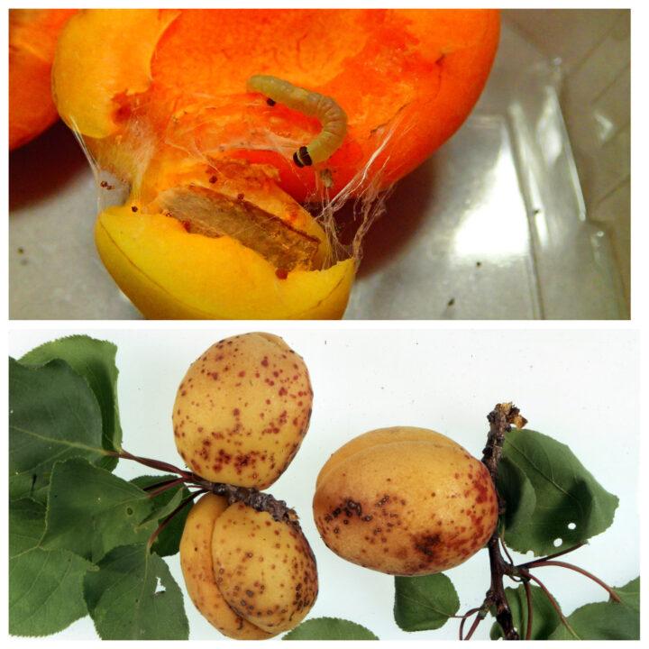 vreditel i bolezni abrikosa