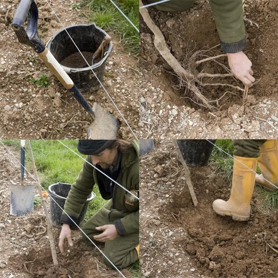 plum-trees-planting.jpg w=500