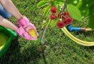 Чем подкормить черешню весной после цветения
