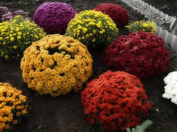 Выращивание шаровидных хризантем