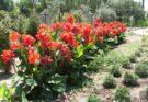 каны цветы