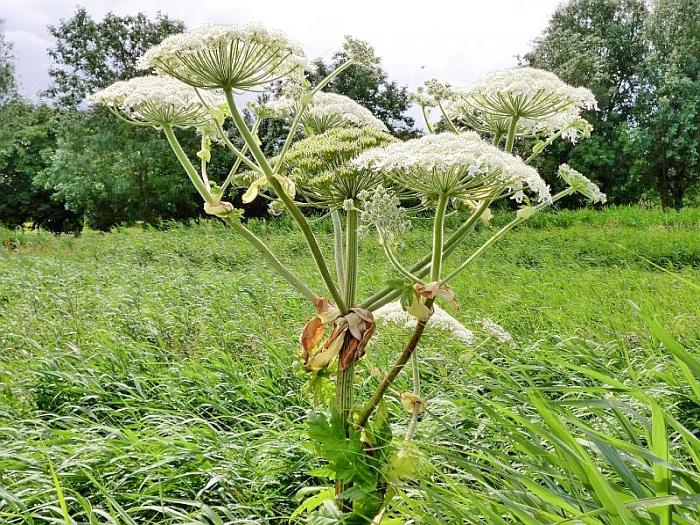 Борщевик - ядовитое растение