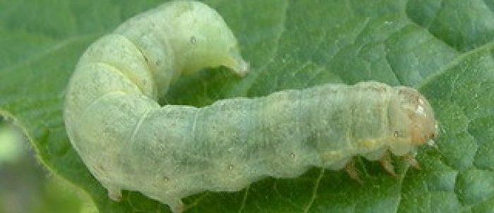 Гусеница капустянка