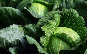 Маточник белокочанной капусты