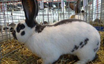 Немецкий кролик, пестрый великан