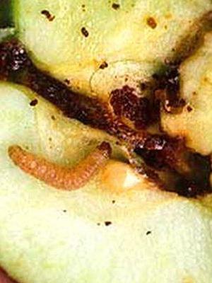 грушевая плодожорка личинка