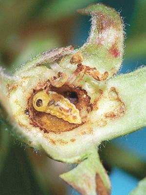 грушевый цветоед личинка