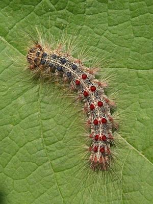 непарный шелкопряд личинка