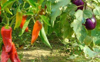удобрение для баклажанов и перца