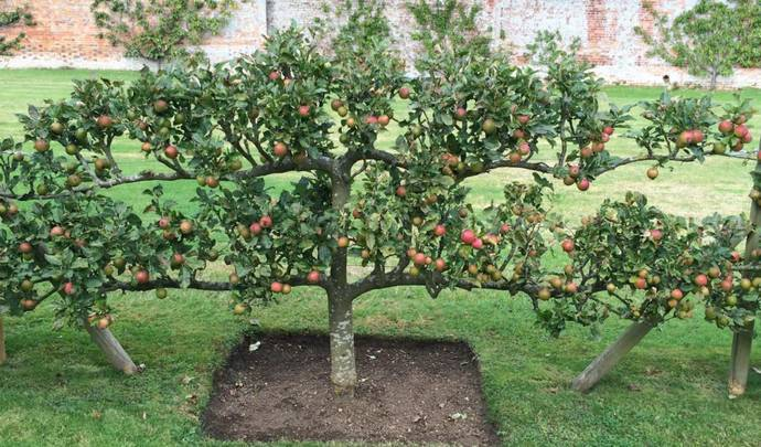 Как правильно направить рост веток ябллони