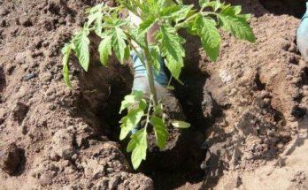 Что необходимо класть в лунку при посадке помидора