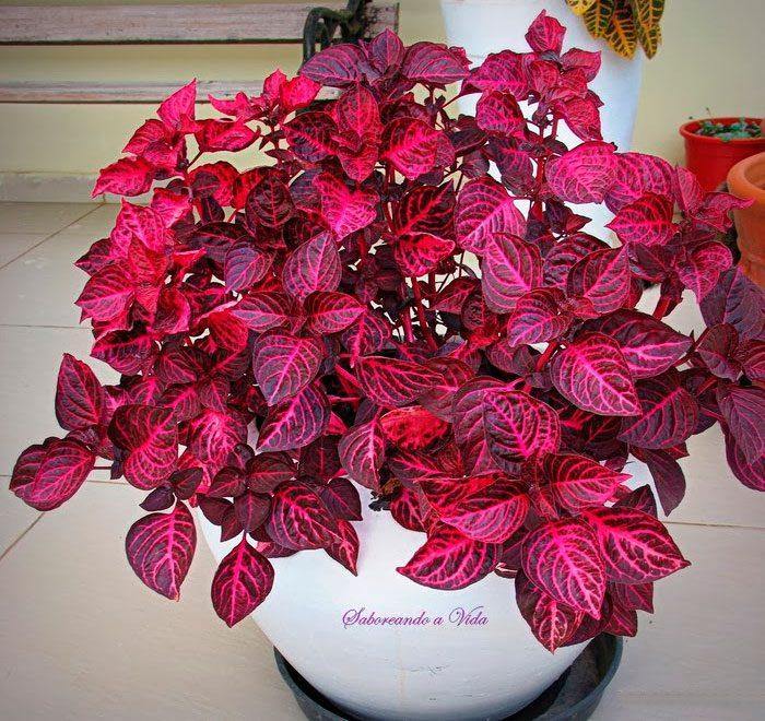 Декоративное растение ирезине