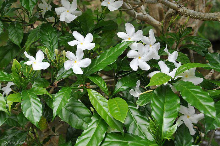 Цветущий вечнозеленый кустарник табернемонтана