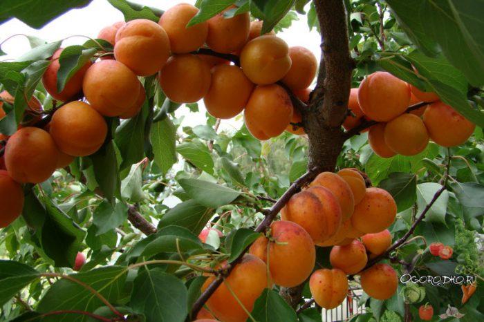 Разные сорта абрикос