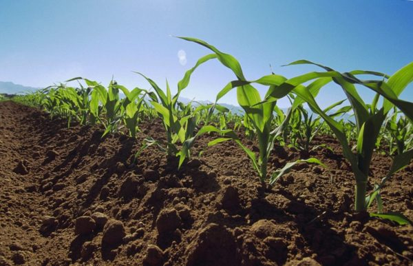 Молодые ростки кукурузы