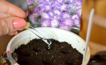 Подкормка петуний для обильного цветения