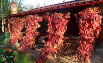 Девичий виноград – посадка и уход за красивой лианой