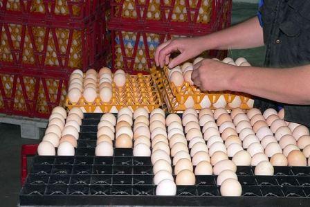 Яйца для инкубации
