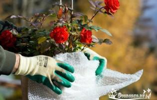 Защита роз на зиму от морозов