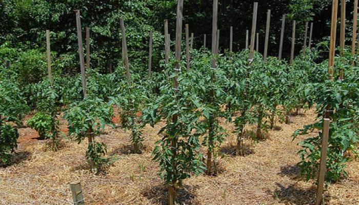 Мульчирование томатов в открытом грунте соломой
