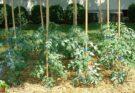 Мульчирование томатов в открытом грунте