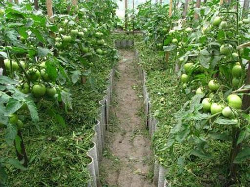 Мульчирование томатов скошенной травой