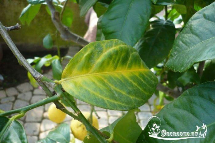 Желтеют и опадают листья лимона