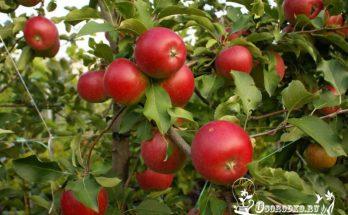 Пепин Шафранный - яблоня, которую стоит посадить в саду