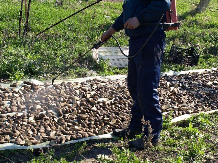 Обработка картошки перед посадкой