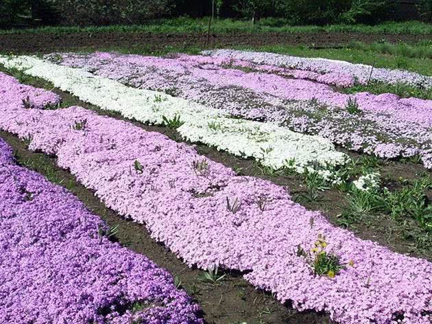 выращивание флоксов