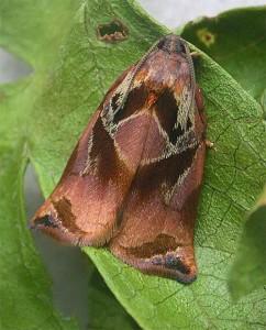 Розанная листовёртка