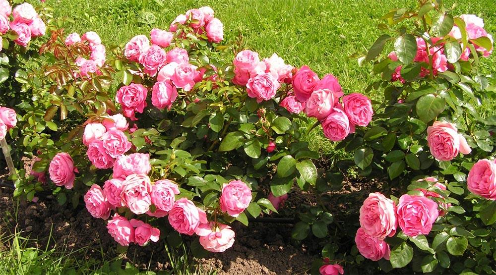 Использование сорта роз Леонардо да Винчи в ландшафтном дизайне