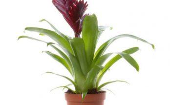 Тропическая красавица бромелия