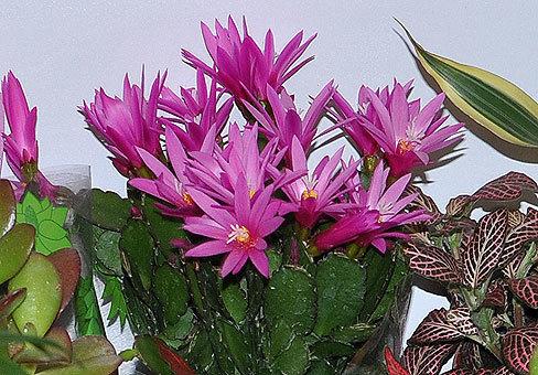 ripsalidopsis-andromeda