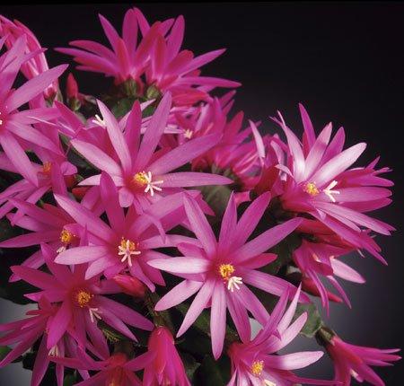 ripsalidopsis anika