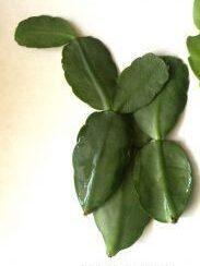ripsalidopsis