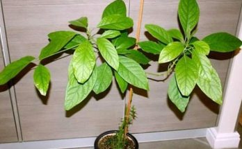 Дерево авокадо в домашних условиях