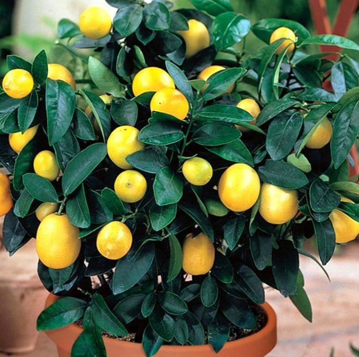Лимон в домашних условиях