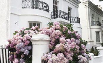 Правильно посадить и вырастить гортензию в саду на даче