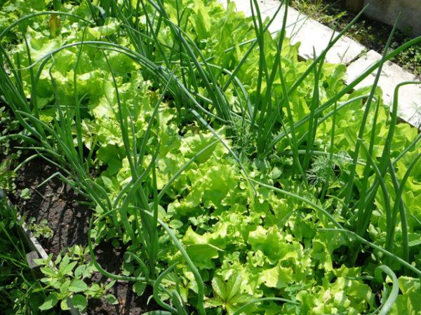 выращивание зелени на грядке