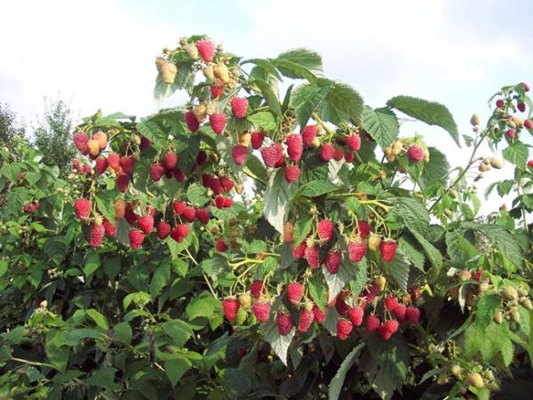 Штамбовые сорта малины размножать трудно, так как они дают мало побегов замещения