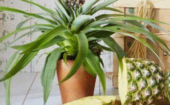 Выращивание ананаса в домашних условиях